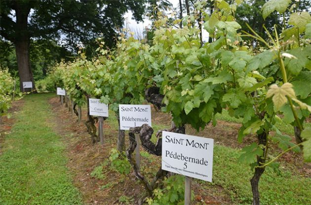 Lost wine grape 'Tardif' may protect against climate change