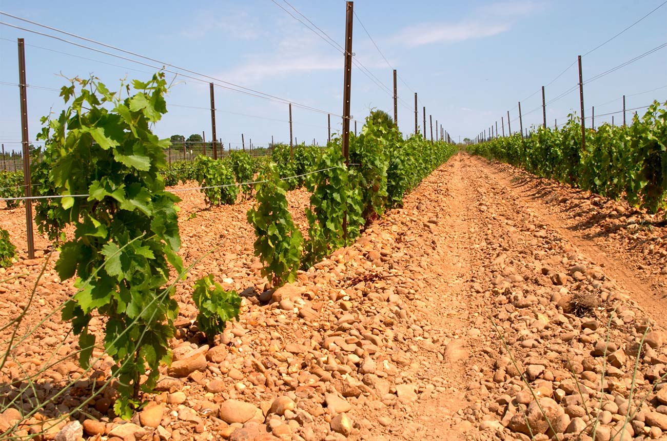 Marselan: Why it could be a 'signature grape' of Chinese wines