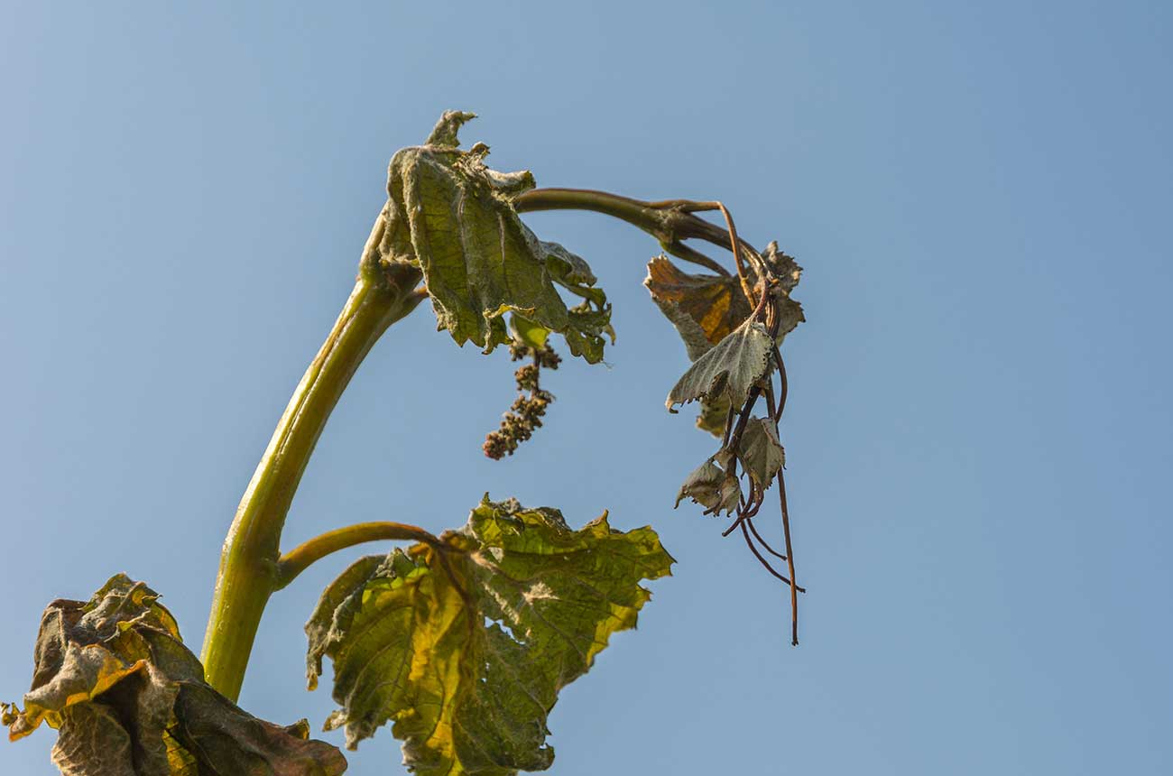 Frost damage in vineyards linked to climate change – study