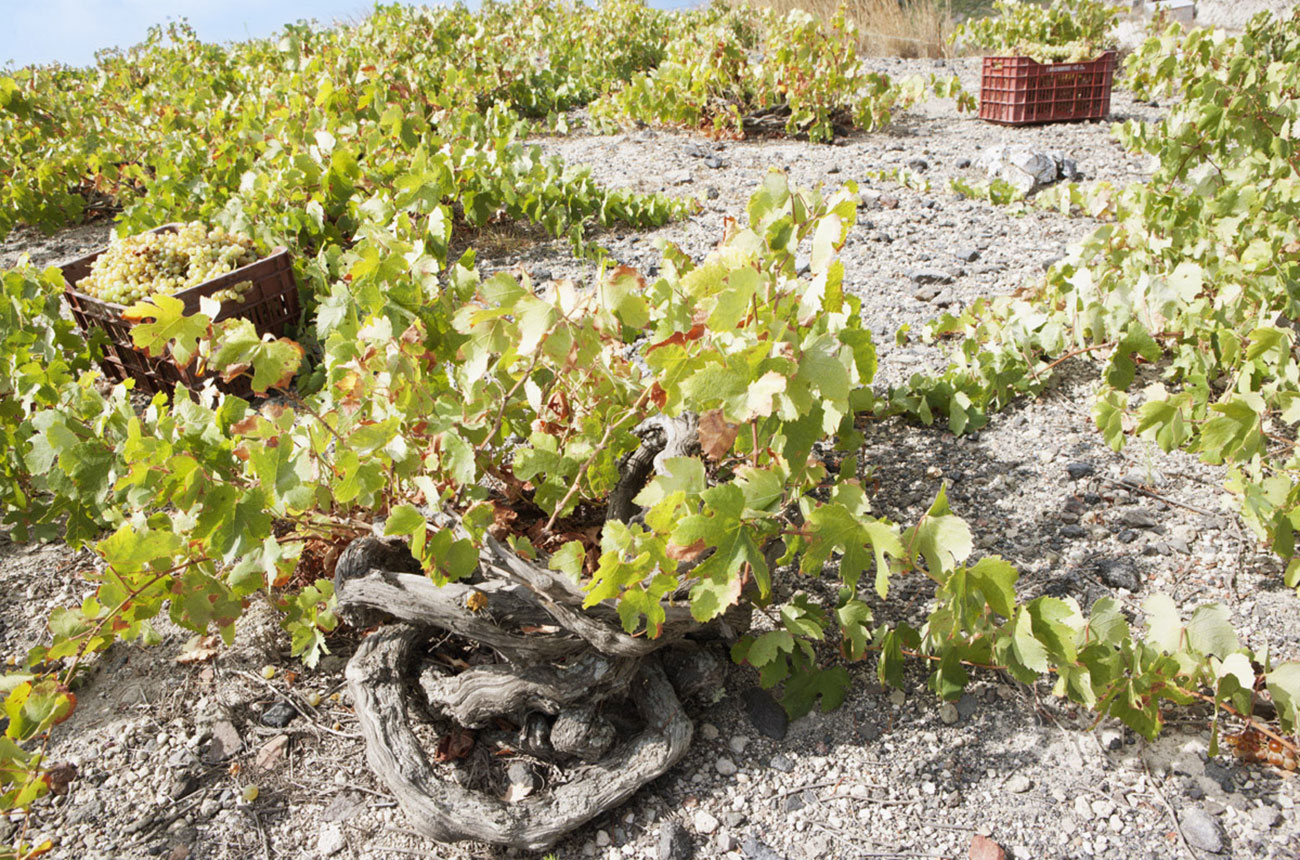 Greek's white wine harvest in jeopardy following wildfires