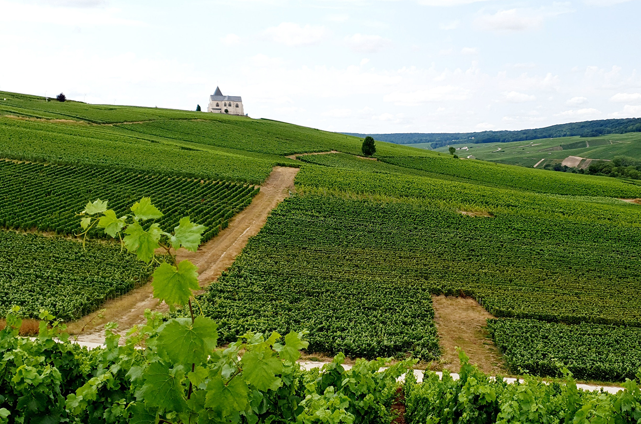 Champagne 2021 harvest: Picking nears end as growers weigh losses